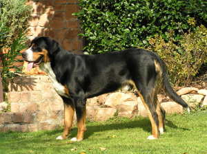 Krill Oil for Dogs With Arthritis